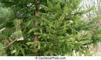 Conifer. - Spring wind shakes the branches of spruce.