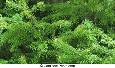 Conifer. - Background of the branches of firs swaying in the...
