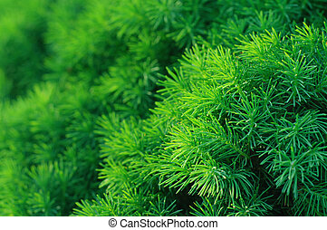 Conifer tree background - Background from conifer evergreen...