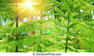 conifer trees and sunrays in park