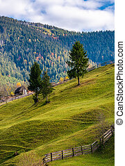 conifer tress on grassy hillside in autumn. beautiful rural...
