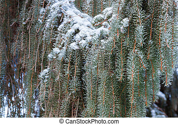Coniferious branchs at winter day