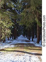 conifero, foresta, strada, in, inverno