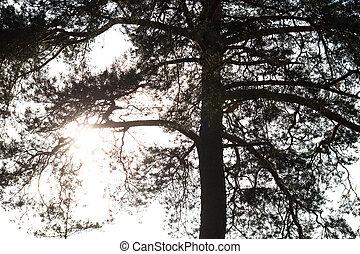 conifero, silhouette, albero