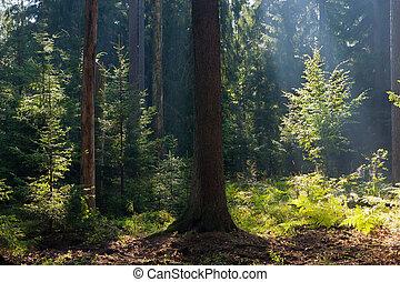 coniferous, antigas, verão, manhã, floresta, bialowieza,...
