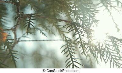 Coniferous branch with sun light