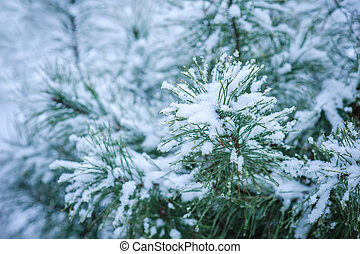 Coniferous branches covered with hoarfrost. Close up