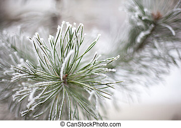 Coniferous branches covered with hoarfrost