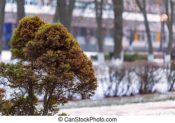 Coniferous bush on a blurred background of the park and building