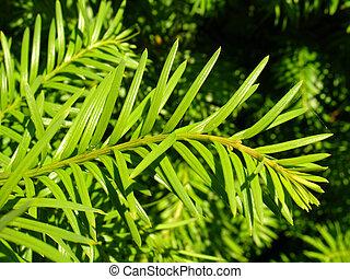 Coniferous closeup