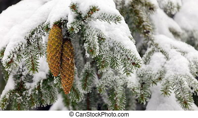 Coniferous evergreen tree with seed cone. Snow falling. -...