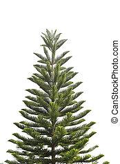 coniferous, família, araucariaceae., pinhos, árvore, tropicais, genus