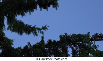 coniferous fir tree branches with cones move under blue sky...