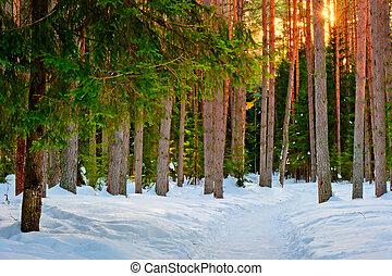 coniferous, floresta, inverno, rastro, nevado