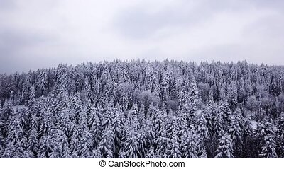Coniferous forest . Aerial view - Coniferous forest a large...