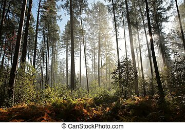 Coniferous forest at dawn