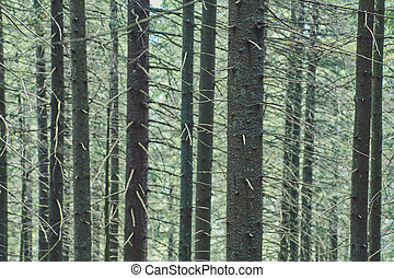 Coniferous forest background of trunks