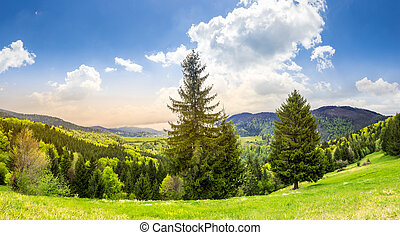 coniferous forest  in mountain at sunrise
