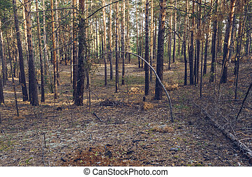 coniferous forest in russia in the morning