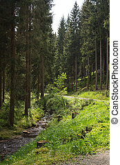 Coniferous forest in summer