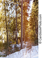 Coniferous forest in sunshine