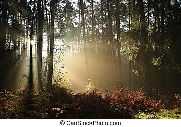Coniferous forest in the morning