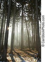Coniferous forest in the morning - Sunlight enters the...