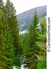 Coniferous forest in the mountains