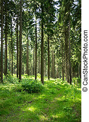 Coniferous forest in the summer