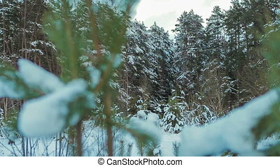 Coniferous forest in winter on a cloudy day