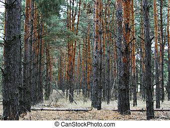 coniferous forest landscape at the end of autumn