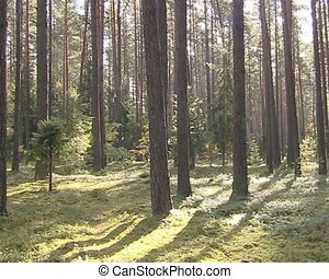 Coniferous forest mossy ground and tree trunks on sunny day.