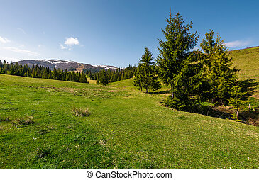 coniferous forest on a grassy hillside. lovely springtime...