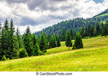 coniferous forest on a mountain hill side - mountain...