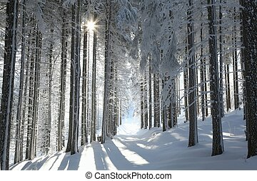Coniferous forest on a winter day - Forest trail among...