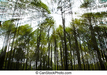 Coniferous forest on sunrise with sunbeams