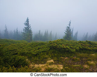 Coniferous forest on the Carpathian mountain hills in a cold foggy spring morning.