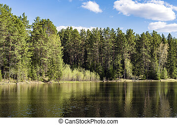Coniferous forest on the edge of a lake