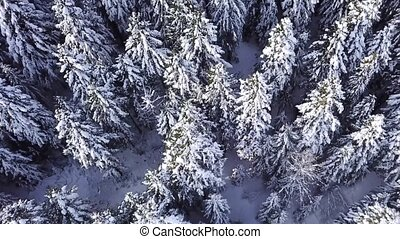 Coniferous forest. View from above . Aerial view - Winter...