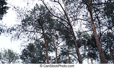 Coniferous forest view, tilt down - Pine and fir tree forest...