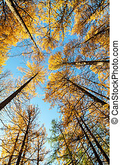 larches in the autumn