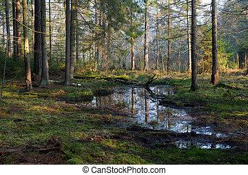 coniferous, levantar, de, bialowieza, floresta