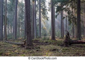 coniferous, levantar, de, bialowieza, floresta, em, manhã