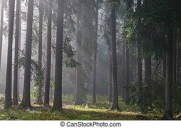 coniferous, nebuloso, luz, árvores, contra, amanhecer