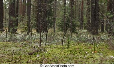 Pine forest panorama - coniferous Pine forest panorama dolly...