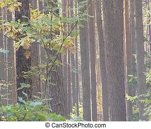 Coniferous pine tree trunks sunlighted. Natural dense forest.