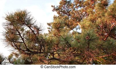 Coniferous pine wood
