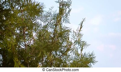 Coniferous plants Thuja - Leaves of pine tree or Oriental...