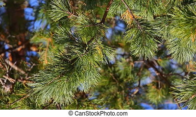 Coniferous spruce pine branch with pine needles on a natural...