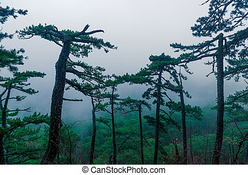 Coniferous tall trees in the mountains in an autumn foggy overcast day